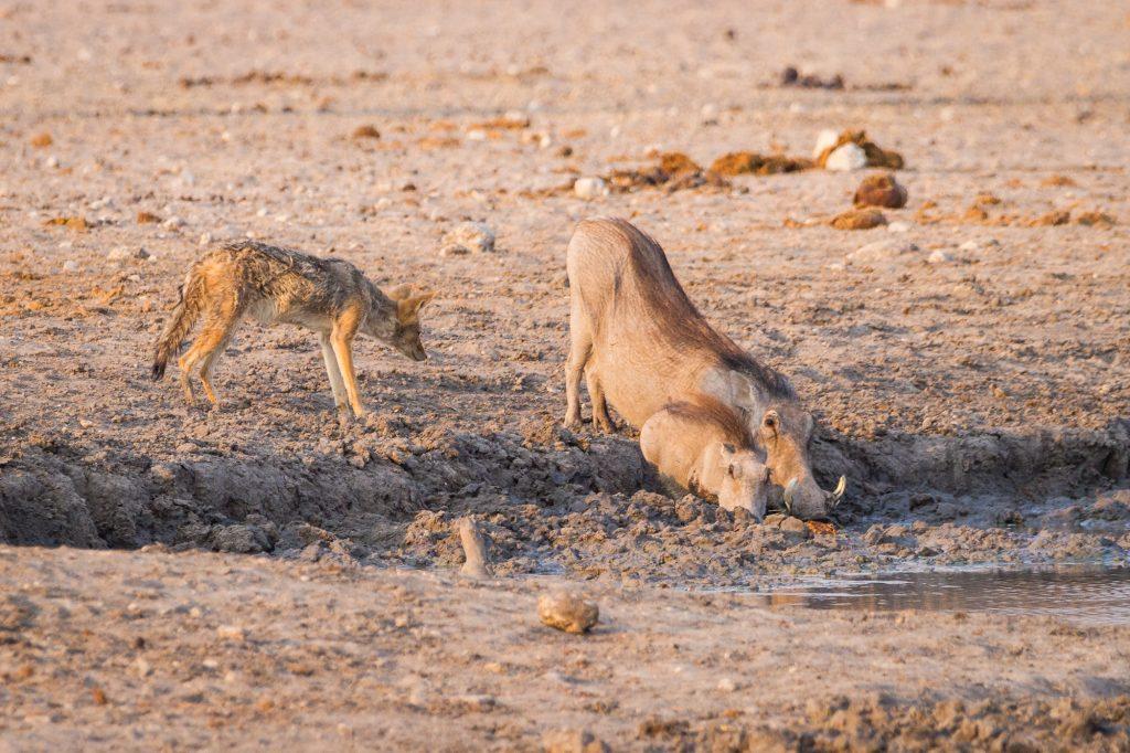 Warzenschwein mit Jungem und lauerndem Schakal im Etosha Nationalpark Namibia