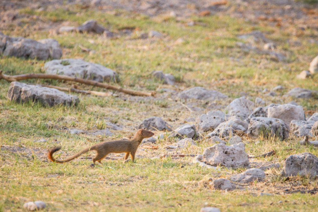 Braune Manguste Etosha Nationalpark in Namibia