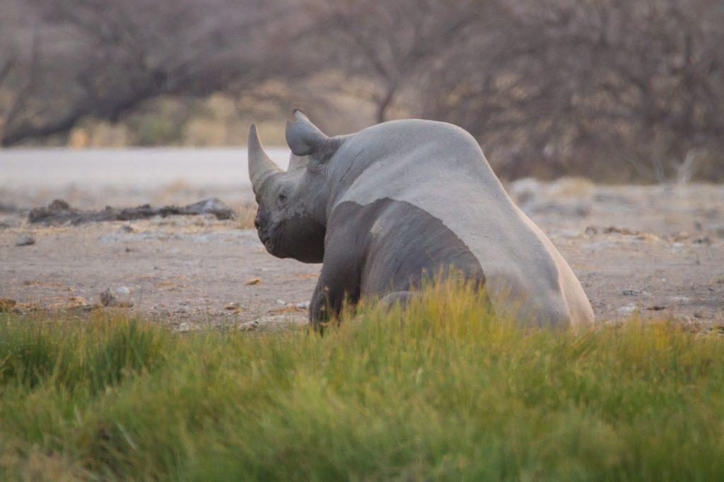 Breitmaul-Nashorn am Namutoni Wasserloch im Etosha Nationalpark in Namibia