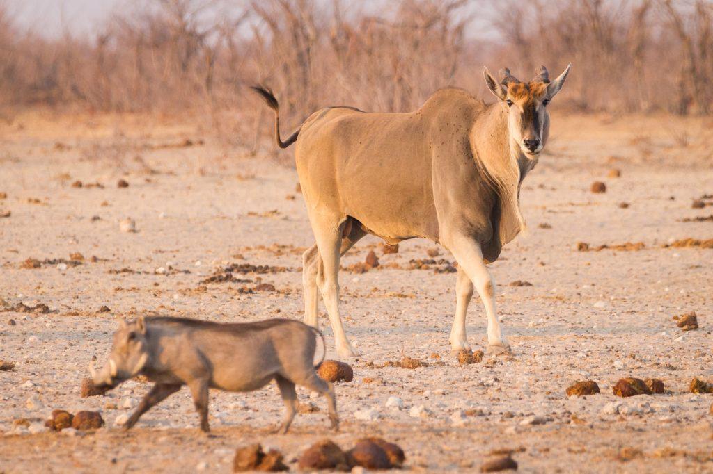 Elanantilope und Warzenschwein im Etosha Nationalpark Namibia