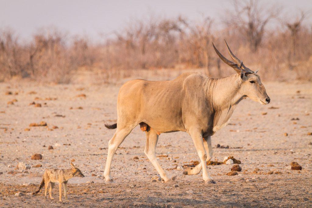 Elantantilope und Schakal im Etosha Nationalpark Namibia