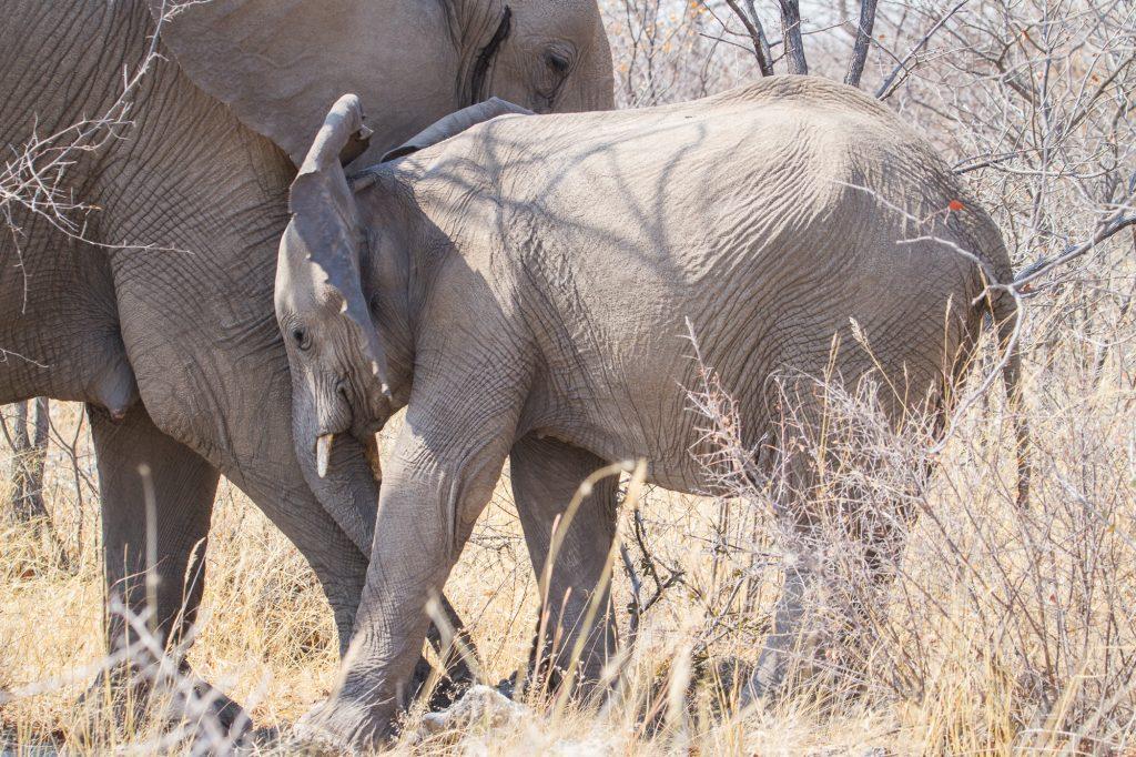 Elefanten-Junges mit Mutter im Etosha Nationalpark in Namibia