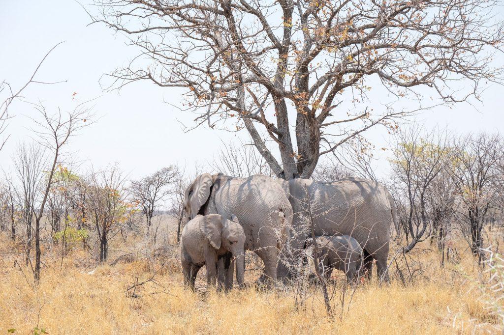 Elefantenherde mit zwei Jungen unter einem Baum im Etosha Nationalpark in Namibia