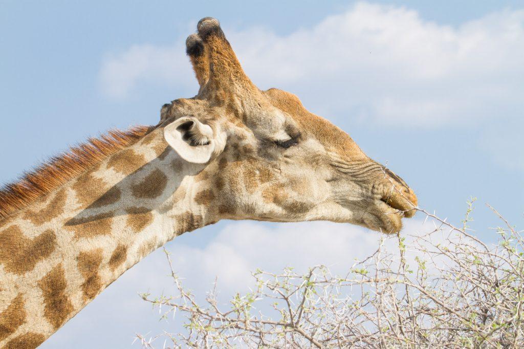 Nahaufnahme fressende Giraffe im Etosha Nationalpark in Namibia