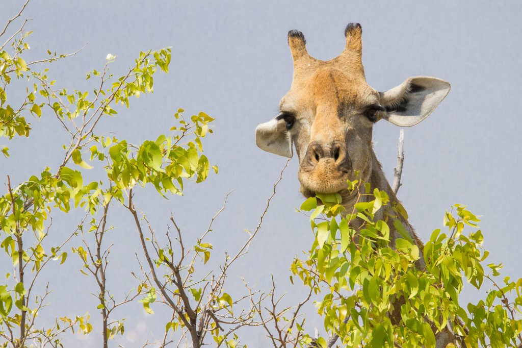 Nahaufnahme fressende Giraffe grüne Blätter Etosha Nationalpark Namibia