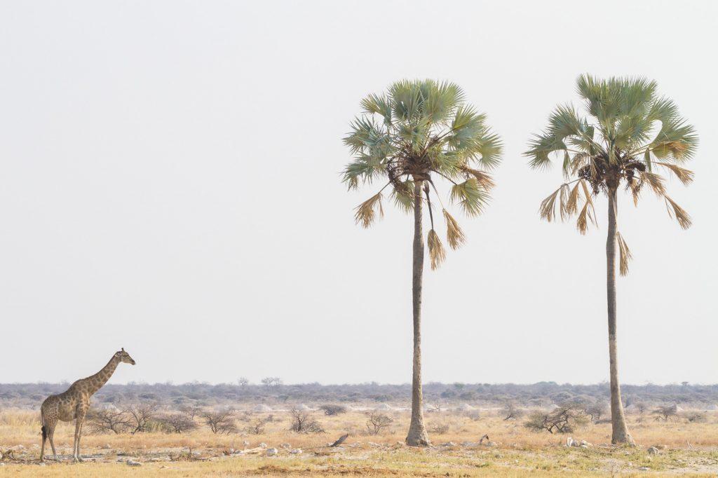 Giraffe mit zwei Palmen im Etosha Nationalpark in Namibia