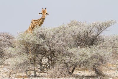 Halb-versteckte Giraffe hinter Busch Etosha Nationalpark in Namibia