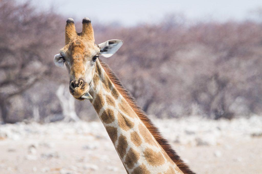 Giraffe mit rausgestreckter Zunge im Etosha Nationalpark in Namibia