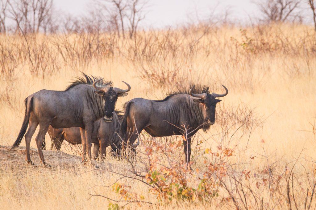Gnus im Etosha Nationalpark Namibia