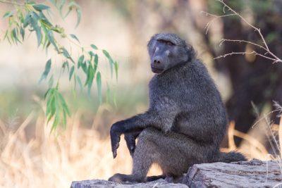Pavian sitzt auf Baumstamm am Waterberg in Namibia