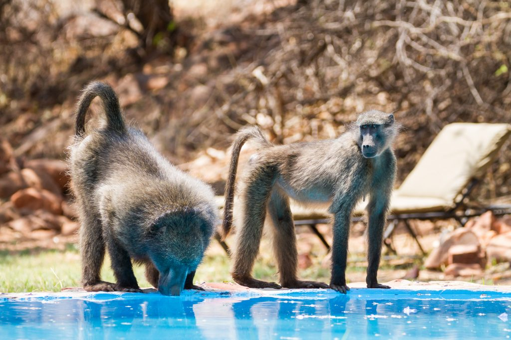 Zwei Paviane trinken aus Pool am Waterberg in Namibia