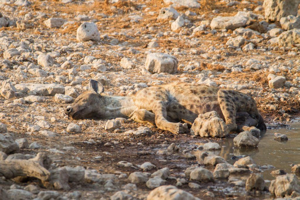 Schlafende Tüpfelhyäne Etosha Nationalpark in Namibia