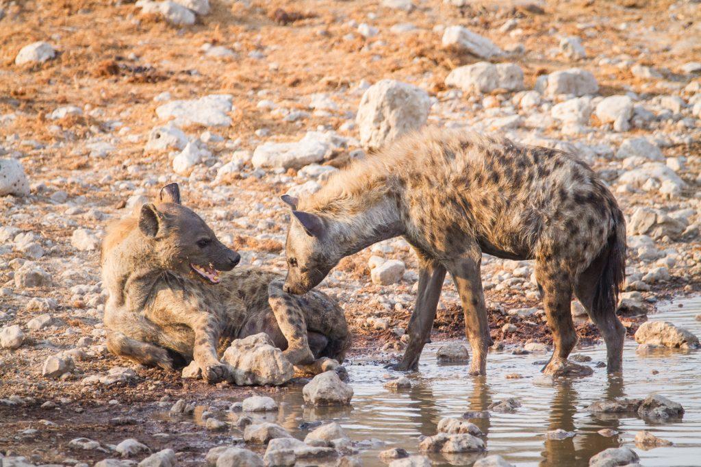 Tüpfelhyäne Etosha Nationalpark in Namibia